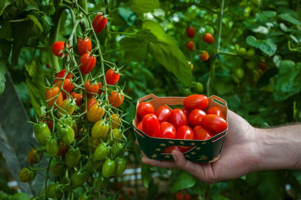 tomate-cherry-angelle