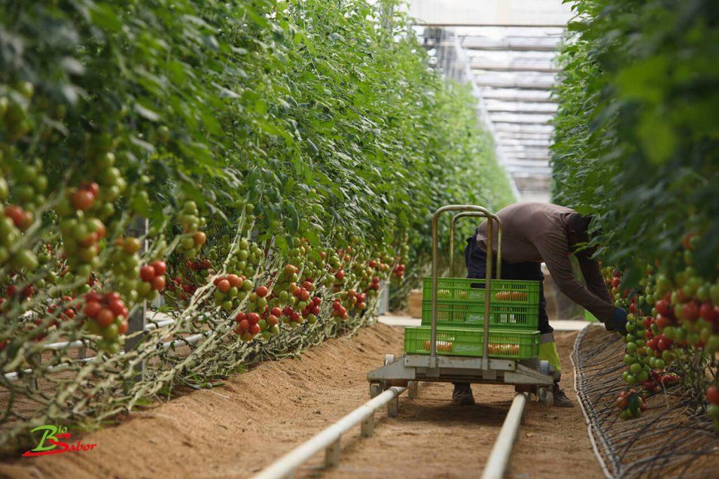 recoleccion-tomate-biosabor-ecologico